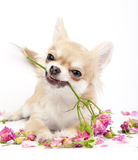 Smiling Chihuahua puppy giving pink roses Stock Photography