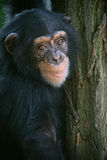 Smiling chimpanzee. Chimpanzee on the tree is smiling on us royalty free stock photography