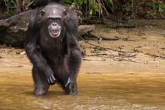 Smiling chimpanzee. A chimpanzee flashes a big smile while waiting for food on Monkey Island in Liberia stock photography