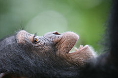 Smiling Chimpanzee portrait Stock Photography