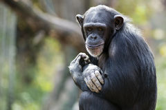 smiling chimpanzee portrait Stock Photo