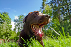 Smiling Chocolate Lab. Labrador Retriever smiling as he is laying down in grass Stock Images