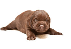 Smiling Chocolate puppy of breed Labrador on white Stock Photography