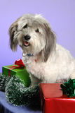 Smiling Christmas puppy Royalty Free Stock Image