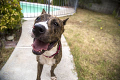 Smiling close up of a brindle dog Stock Photo