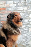 Smiling collie portrait. Smiling nice collie portrait stone wall background Stock Photography