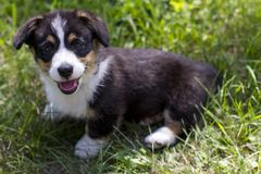 Smiling Corgi Puppy in the grass royalty free stock image