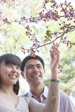 Smiling couple looking up and touching a branch with cherry blossoms, outside in a park in the springtime Royalty Free Stock Photo