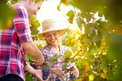 Smiling couple picking grapes Royalty Free Stock Photo
