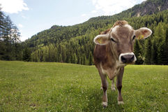Smiling cow Stock Image