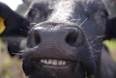 Smiling cow. Funny picture of almost laughing cow Royalty Free Stock Photo