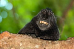 Smiling crested black macaque monkey in the forest Stock Images
