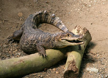 Smiling Croc Royalty Free Stock Photos