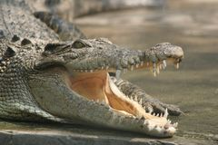 A smiling crocodile. A close-up crocodile's head with open mouth royalty free stock photography
