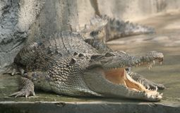 Smiling crocodile. A crocodile with open mouth Royalty Free Stock Photo