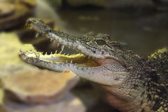 Smiling crocodile. Crocodile head with open mouth closeup stock image