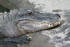 Smiling Crocodile Royalty Free Stock Photos