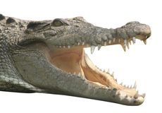 Smiling crocodile isolated. A crocodile with an open mouth royalty free stock photography
