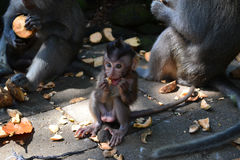 Smiling cub of a monkey Royalty Free Stock Photo