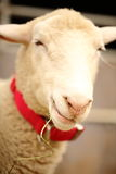A smiling, cute and beautiful sheep chewing on a straw. Soft-focused Royalty Free Stock Image