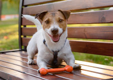 Smiling cute dog with bone. Jack Russell Terrier dog on a bench at park Stock Image