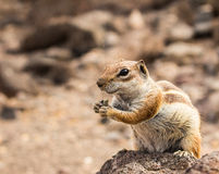 Smiling cute little African ground squirrel Stock Images