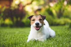 Smiling cute lying dog on a summer green lawn. Jack Russell Terrier pet resting at backyard Royalty Free Stock Image