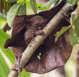 Smiling cute tarsier sitting on a tree,  Bohol Royalty Free Stock Photo