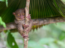 Smiling cute tarsier sitting on a tree,  Bohol Royalty Free Stock Photos