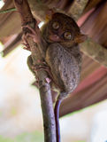 Smiling cute tarsier sitting on a tree,  Bohol Stock Image