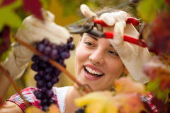 Smiling cute woman harvesting grapes. In vineyard Stock Photography