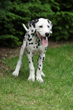 Smiling dalmatian puppy in the garden Stock Images