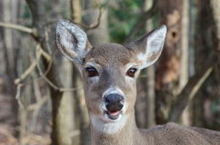 Smiling Doe Stock Photography