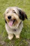 Smiling dog. Picture of dog sitting on the grass Stock Photo