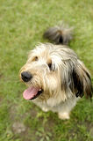 Smiling dog. Picture of dog sitting on the grass Royalty Free Stock Photography