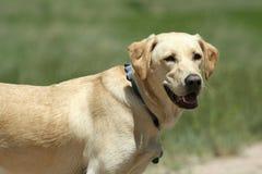 Smiling Dog Royalty Free Stock Photography