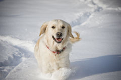 Smiling dog. Golden retriever running in the snow Royalty Free Stock Photo