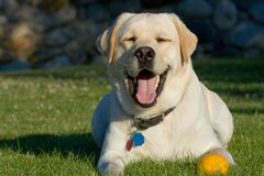 Smiling dog Stock Image