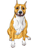 Smiling dog American Staffordshire Terrier Royalty Free Stock Photos