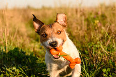Smiling dog with a bone. Portrait of cute Jack Russell Terrier Stock Photos