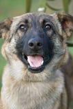 Smiling Dog Stock Photography