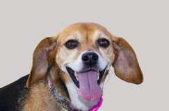 Smiling dog - dachshund gives a big smile with tongue hanging out isolated on silver royalty free stock photos