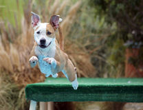 Smiling dog diving off of a dock ears in the air Royalty Free Stock Images