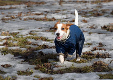 Smiling dog dressed in deep blue clothes walking alone. Jack Russell Terrier pet wearing wet coat Royalty Free Stock Images