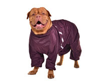 Smiling dog dressed with wine red raincoat Royalty Free Stock Photos