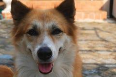 Smiling dog face.  stock image