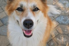 Smiling dog face. Smiling dog face royalty free stock photography