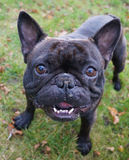 A smiling dog. A french bulldog, black french bulldog, black dog, black dogs, cute puppies, a standing dog, dog playing, dogs playing, dogs playing outside, pets Royalty Free Stock Photos
