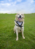 Smiling Dog Golden Retriever. Golden Retriever on the green grass field, smiling happy cute dog Stock Images