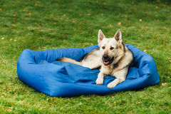 Smiling dog on his bed, grass background Royalty Free Stock Images